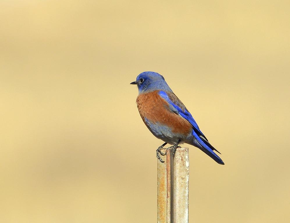 Western Bluebird – Male | Dulce, New Mexico | November, 2013