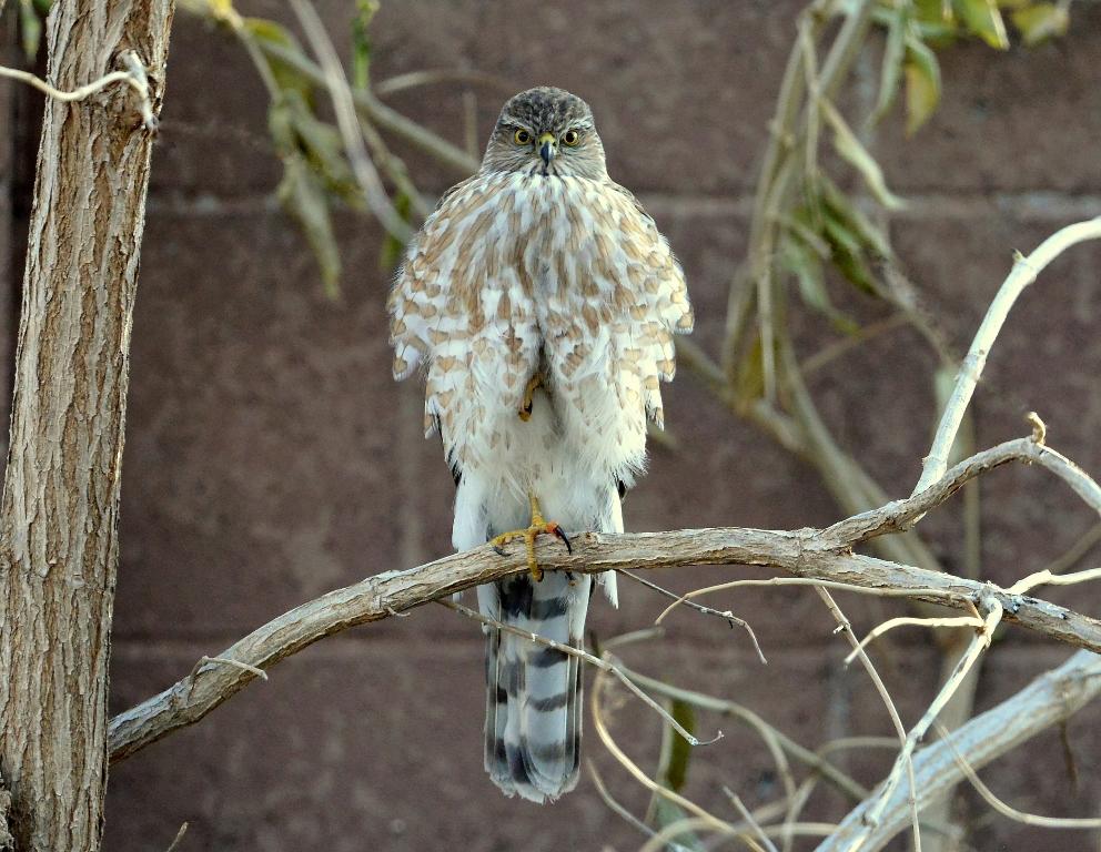 Coopers Hawk | Albuquerque, New Mexico | December, 2013
