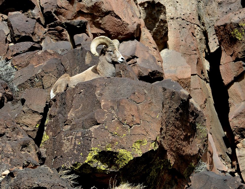 Bighorn Sheep – Ram | Pilar, New Mexico | February, 2014