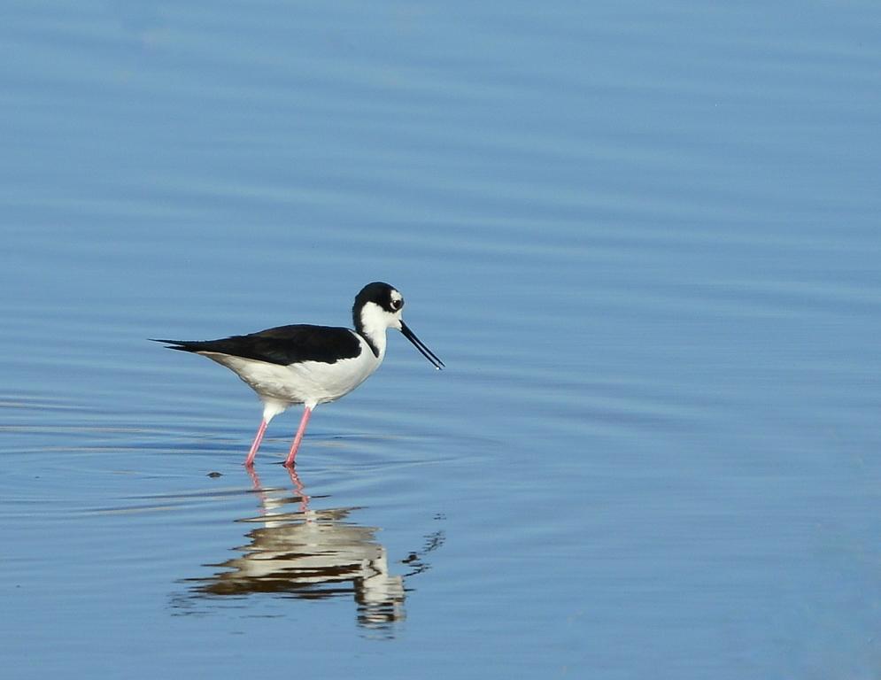 Black-necked Stilt | Belen, New Mexico | March, 2014