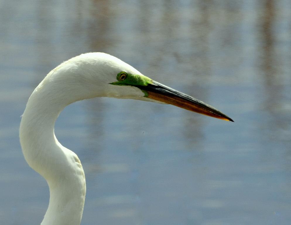 Great Egret | Bosque del Apache | April, 2014