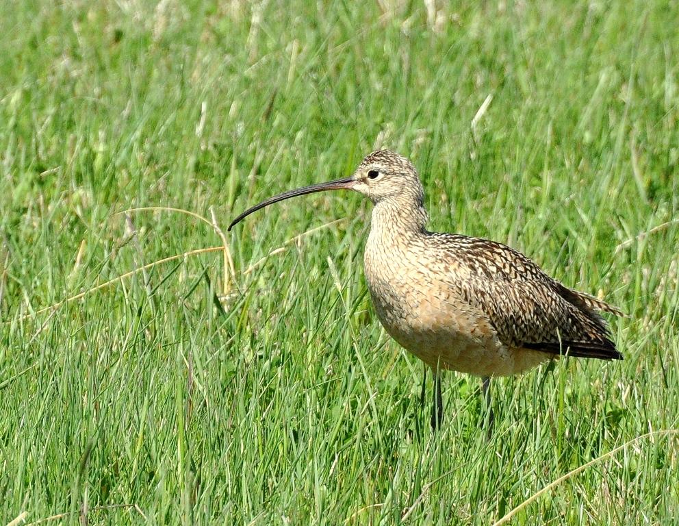 Long-billed Curlew | Walden, Colorado | June, 2014