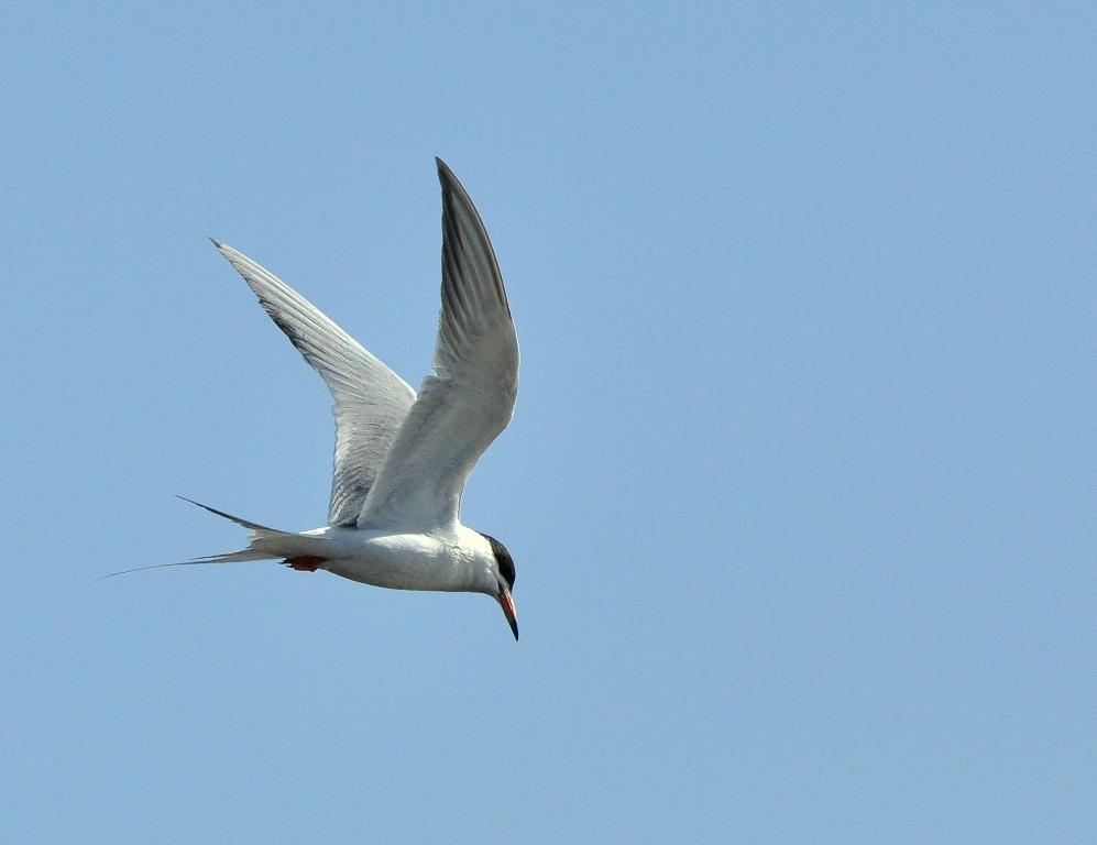 Forster's Tern | Walden, Colorado | June, 2014
