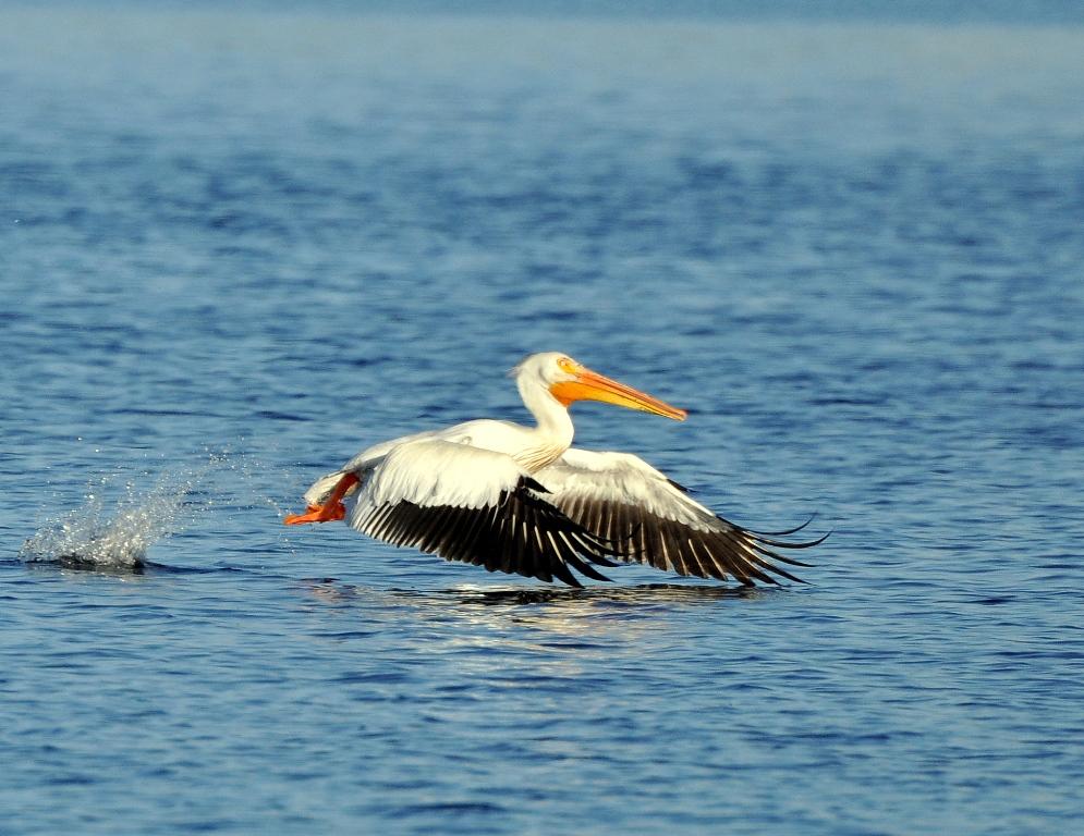 American White Pelican | Walden, Colorado | June, 2014