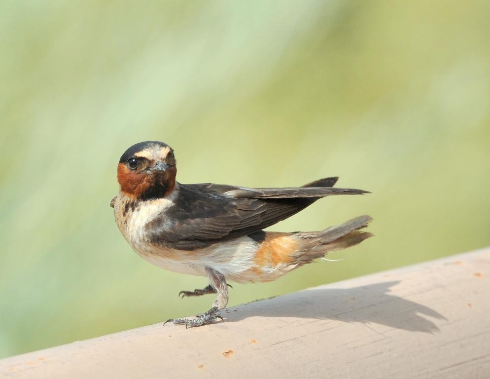Cliff Swallow | Bosque del Apache | July, 2014
