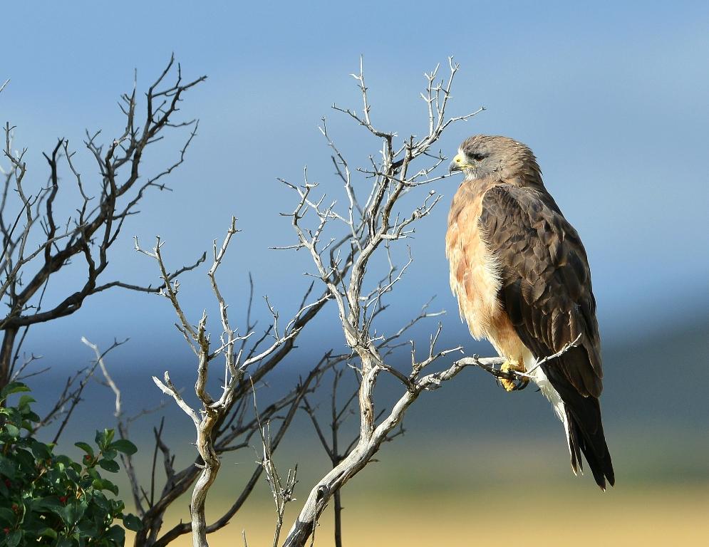 Swainson's Hawk | Walden, Colorado | August, 2014