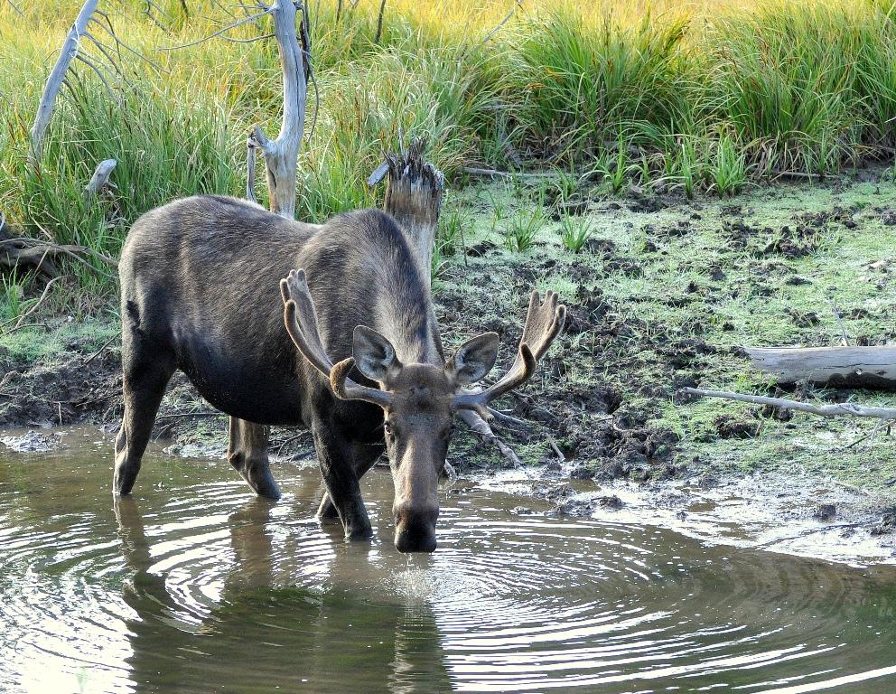 Moose – Bull | Walden, Colorado | August, 2014