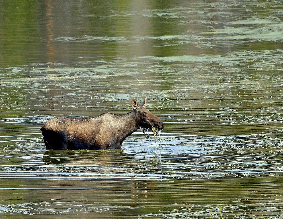 Moose – Cow | Walden, Colorado | August, 2014