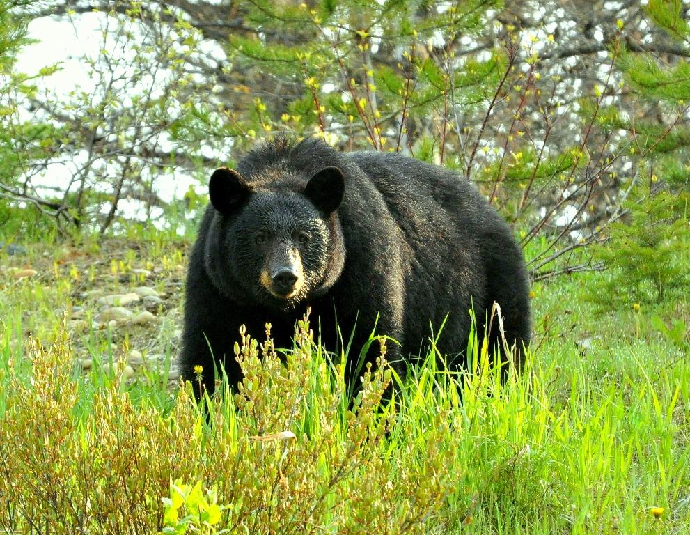 Black Bear | Chetwynd, British Columbia | May, 2011