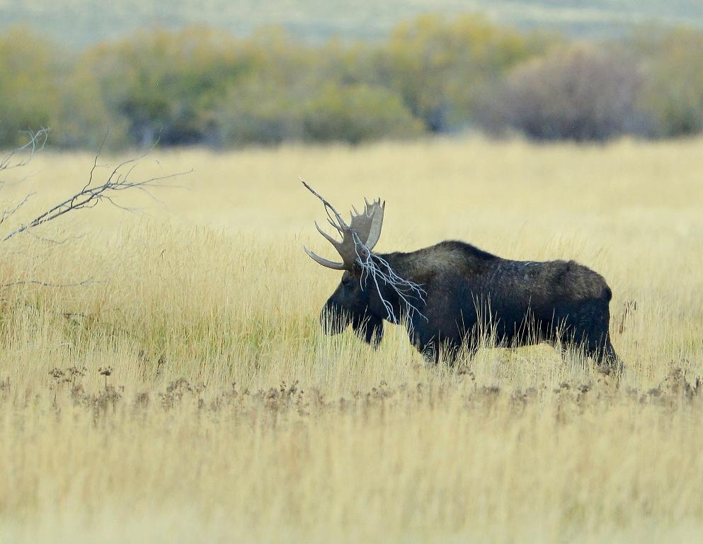 Moose – Bull | Walden, Colorado | October, 2014