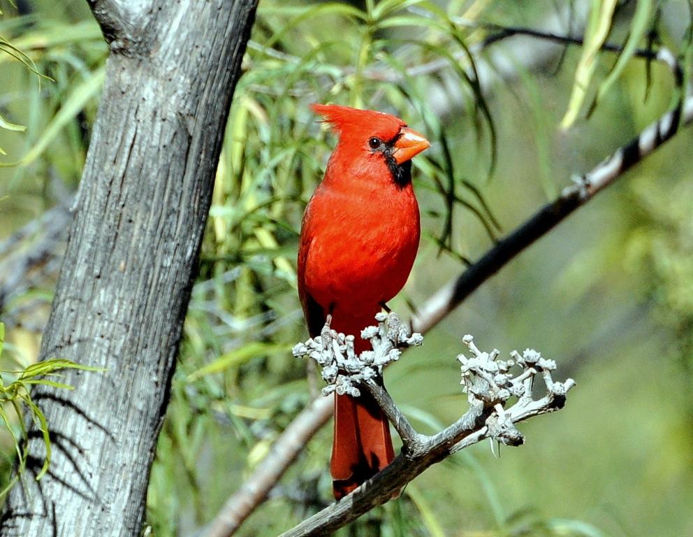 Northern Cardinal – Male | Portal, Arizona | November, 2014