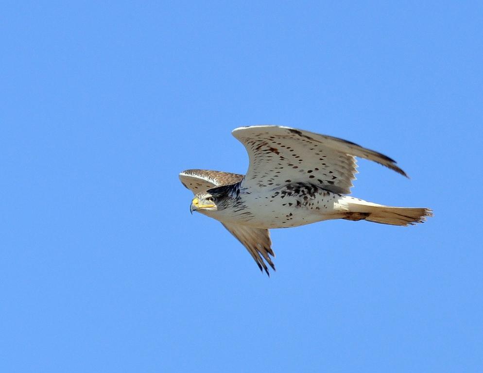 Ferruginous Hawk | Estancia, New Mexico | January, 2015