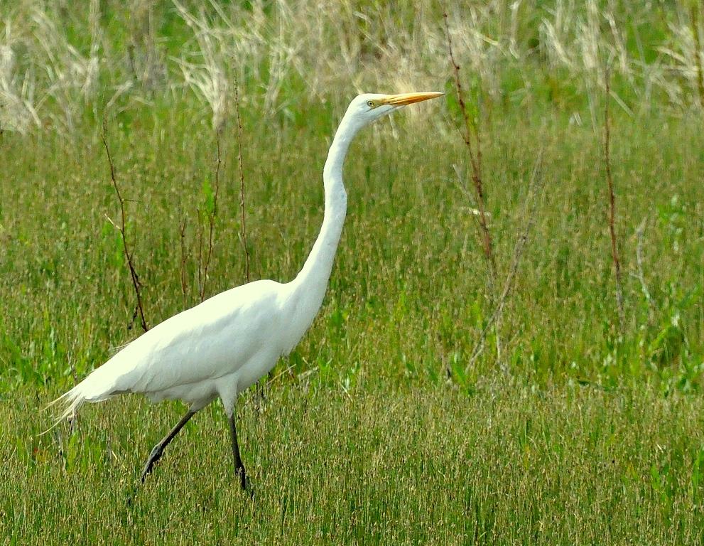 Great Egret | Bosque del Apache | April, 2015