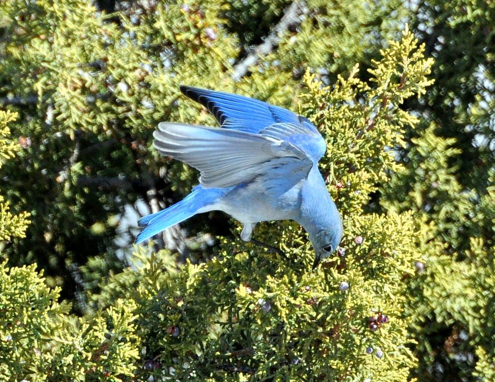 Mountain Bluebird – Male | Cochiti, New Mexico | March, 2015