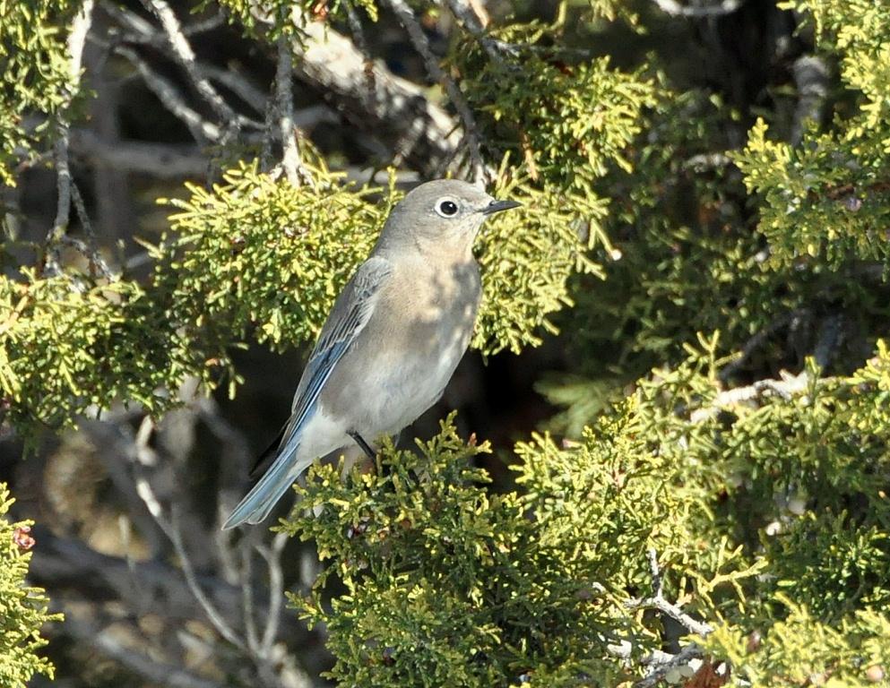 Mountain Bluebird – Female | Cochiti, New Mexico | March, 2015