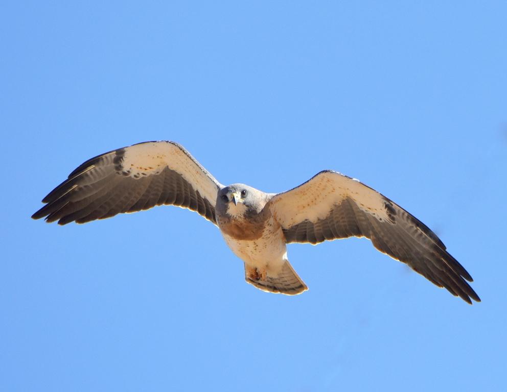 Swainson's Hawk | Estancia, New Mexico | May, 2015