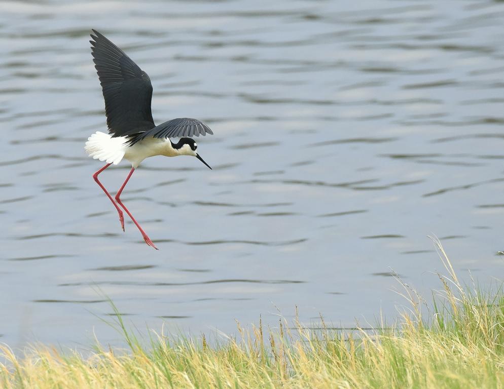 Black-necked Stilt | Belen, New Mexico | May, 2015