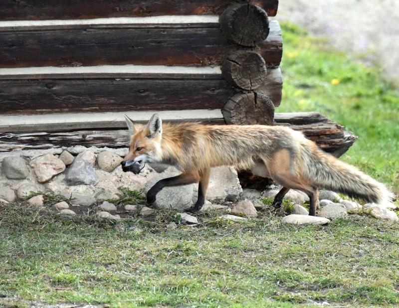 Red Fox – Female   Walden, Colorado   May, 2015