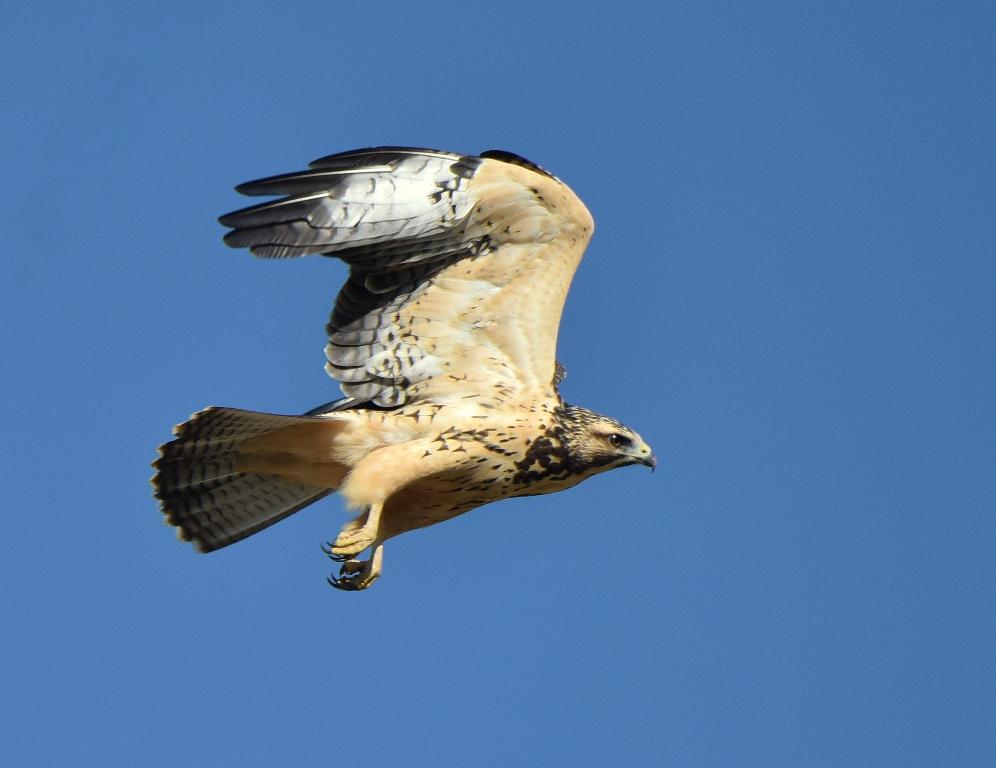 Swainson's Hawk – Juvenile | Estancia, N.M. | Aug., 2015