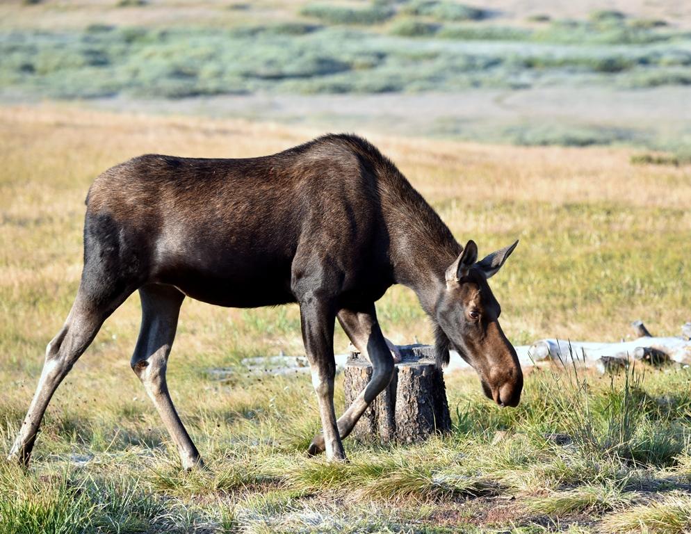 Moose – Cow | Walden, Colorado | August, 2015
