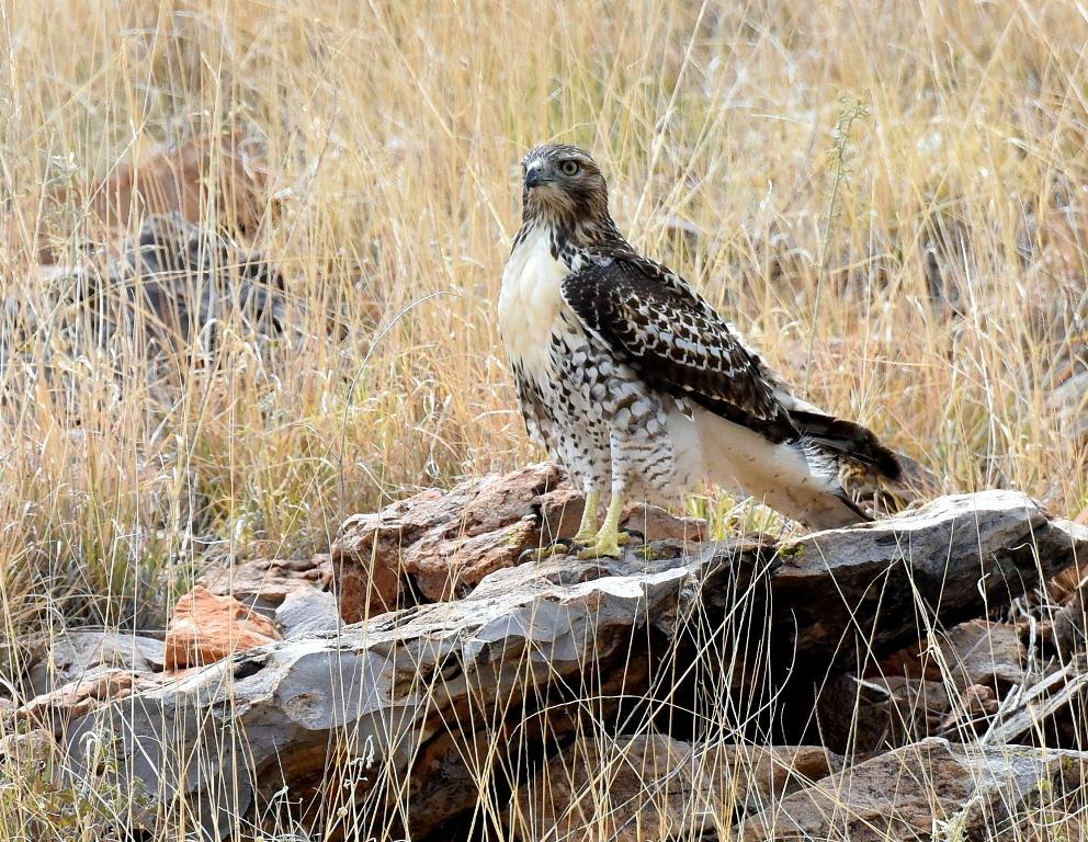 Red-tailed Hawk – Juvenile | Socorro, N.M. | August, 2015