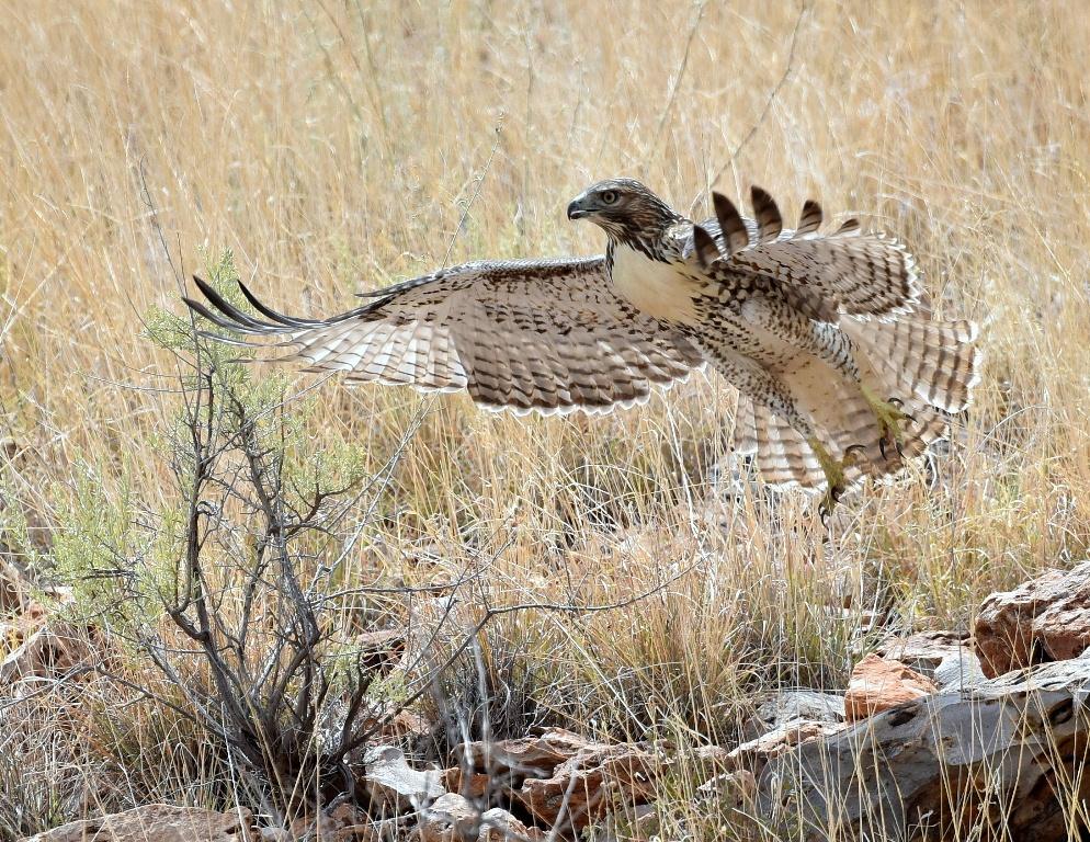 Red-tailed Hawk – Juvenile | Socorro, N. M. | August, 2015