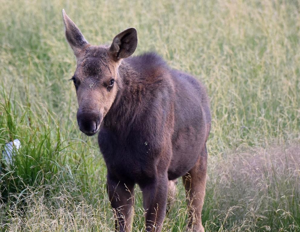 Moose – Juvenile | Walden, Colorado | August, 2015