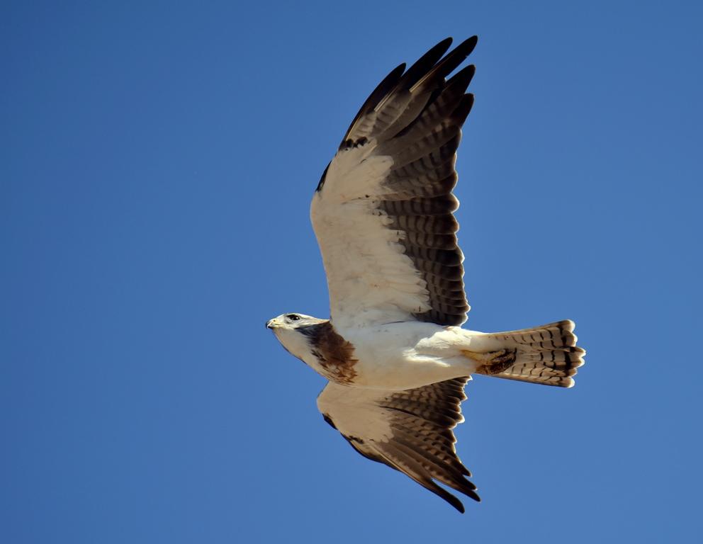 Swainson's Hawk | Las Vegas, New Mexico | September, 2015