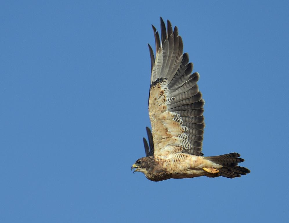 Swainson's Hawk | Estancia, New Mexico | September, 2015