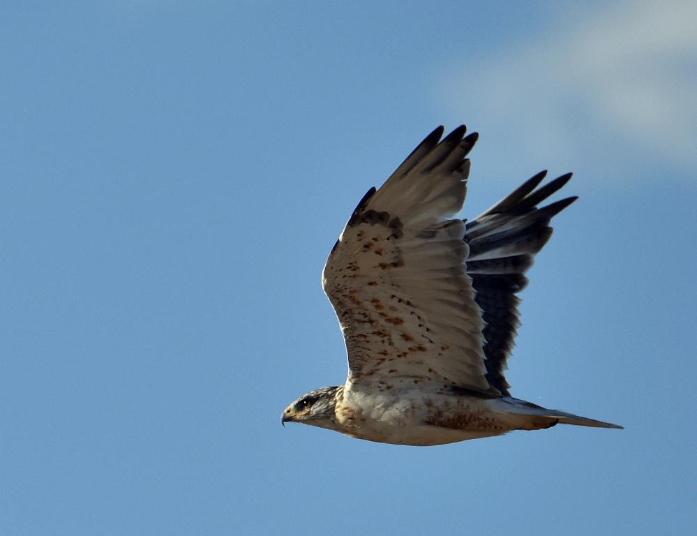 Ferruginous Hawk | Estancia, New Mexico | September, 2015