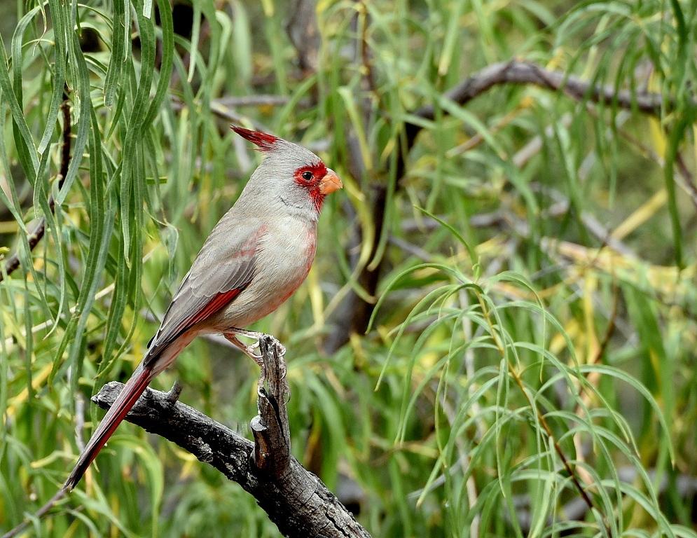 Pyrrhuloxia – Male | Portal, Arizona | October, 2015