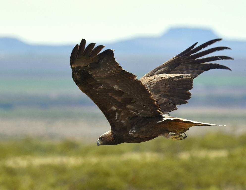 Golden Eagle | Nutt, New Mexico | October, 2015