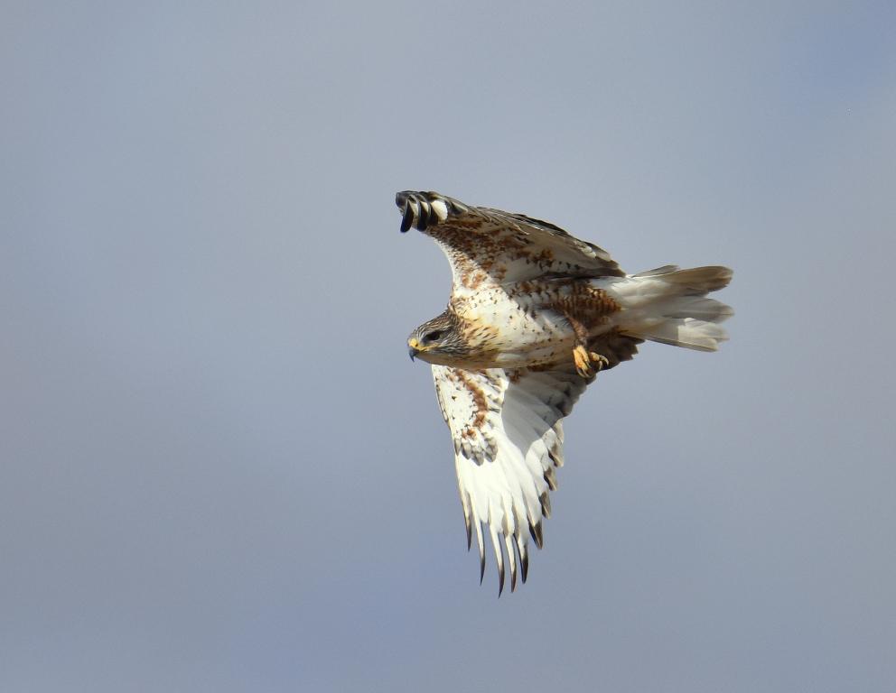 Ferruginous Hawk | Estancia, New Mexico | November, 2015