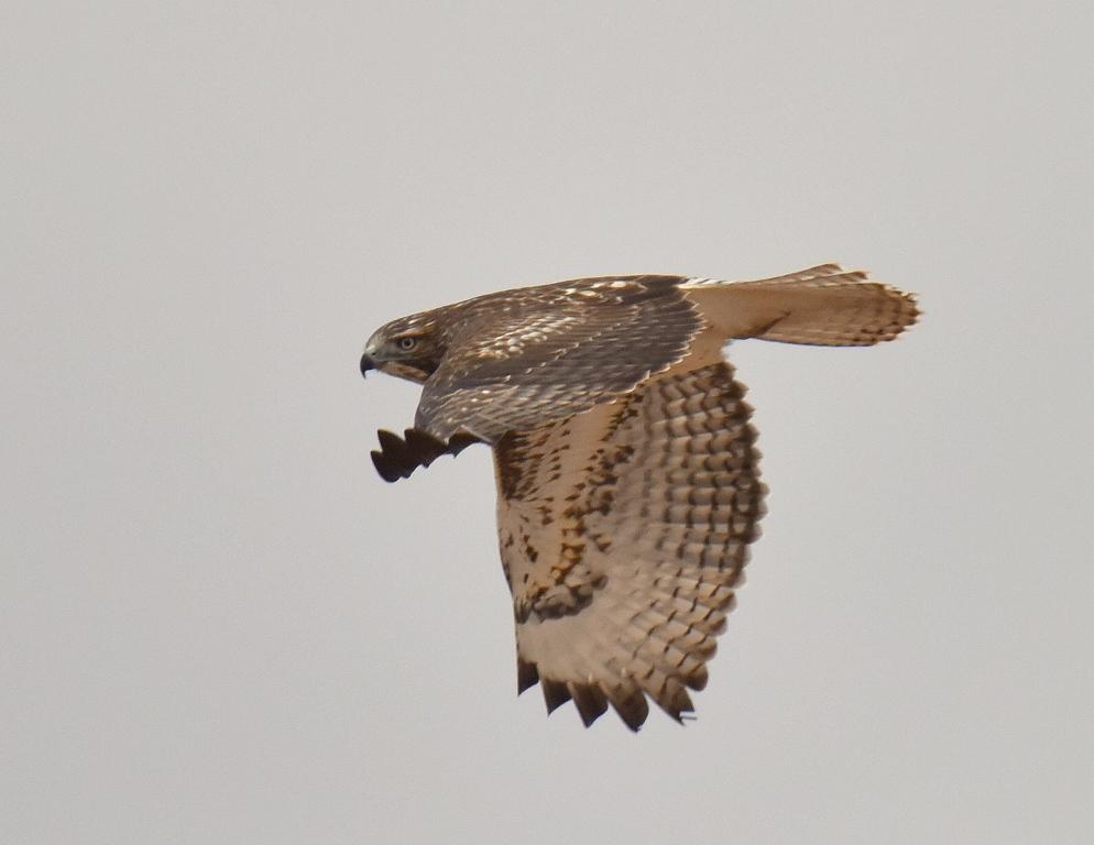 Red -tailed Hawk | Estancia, New Mexico | November,2015