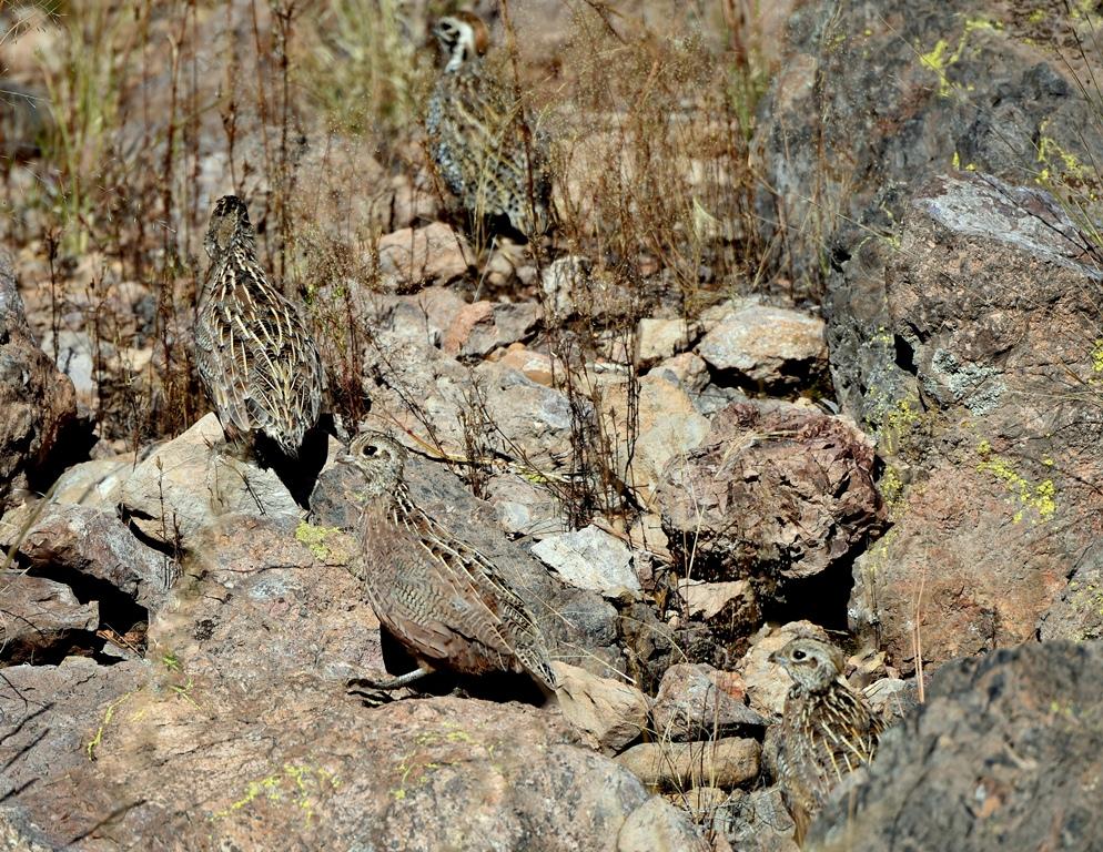 Montezuma Quail – Juvenile | Peloncillo Mts. New Mexico | October, 2015