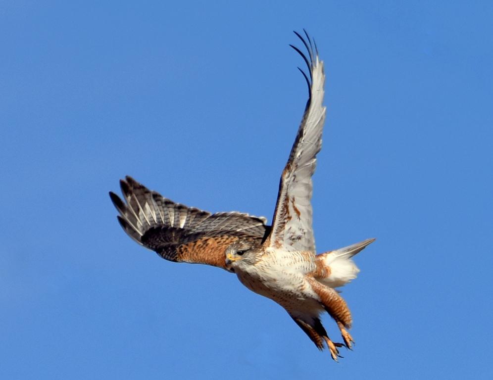 Ferruginous Hawk | Estancia, New Mexico | February, 2016