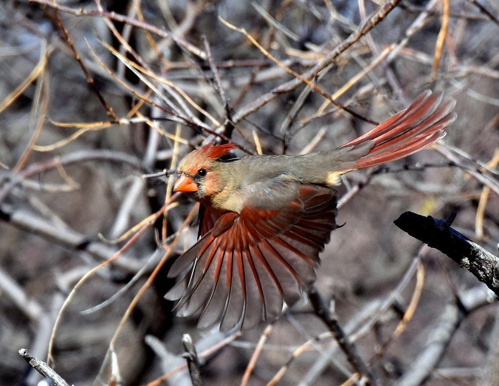 Northern Cardinal – Female | Portal, Arizona | January, 2016