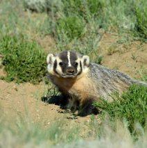 American Badger | Walden, Colorado | June, 2016