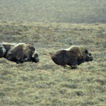 Musk Ox | Deadhorse, Alaska |May, 2016