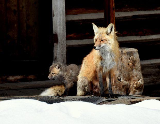Red Fox and Cub   Walden, Colorado   May, 2016