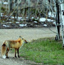 Red Fox | Walden, Colorado | May, 2016
