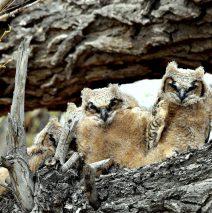 Great Horned Owl Fledglings | Alamosa, Colorado | May, 2016