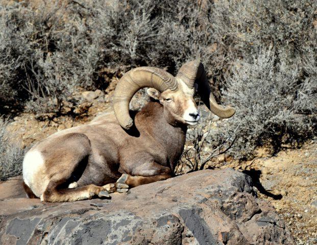 Bighorn Sheep – Ram | Pilar, New Mexico | January, 2017