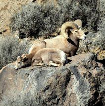 Bighorn Sheep – Ram and Juvenile | Pilar, New Mexico | January, 2017