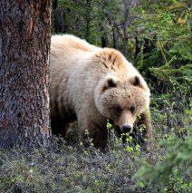 Grizzly Bear | Eagle Plains, Yukon | June, 2016