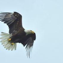 Bald Eagle | Valdez, Alaska | June, 2016