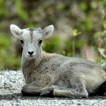 Stone Sheep – Lamb | Stone Mt., B.C. | June, 2016