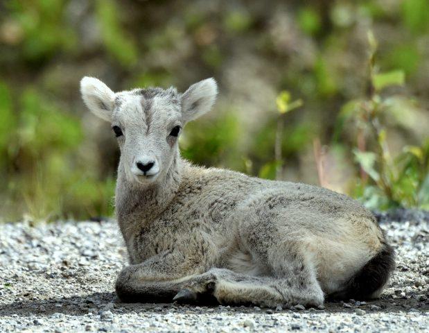 Stone Sheep – Lamb   Stone Mt., B.C.   June, 2016