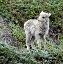 Bighorn Sheep – Lamb| Jasper, Alberta | June, 2016