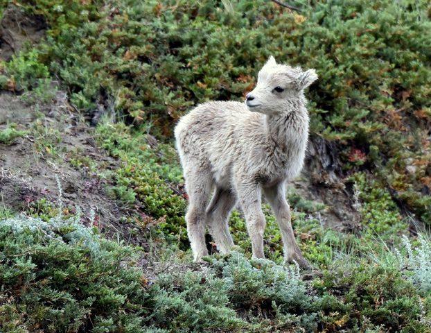 Bighorn Sheep – Lamb  Jasper, Alberta   June, 2016